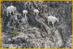 Nannies and Kids Mountain Goats