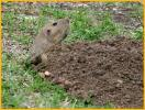 Yellow-faced Pocket Gopher
