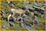 Young Rocky Mtn Bighorn Sheep