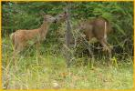 White-tailed Deer Fawn and Doe