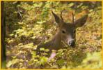 White-tailed Deer, Young Buck