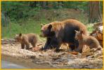 Female Brown Black Bear and Cubs