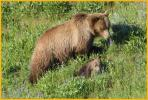 Female Grizzly Bear and Cub