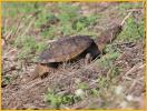 Florida Snapping Turtle