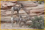 Desert Bighorn Sheep <BR>Ram and Young