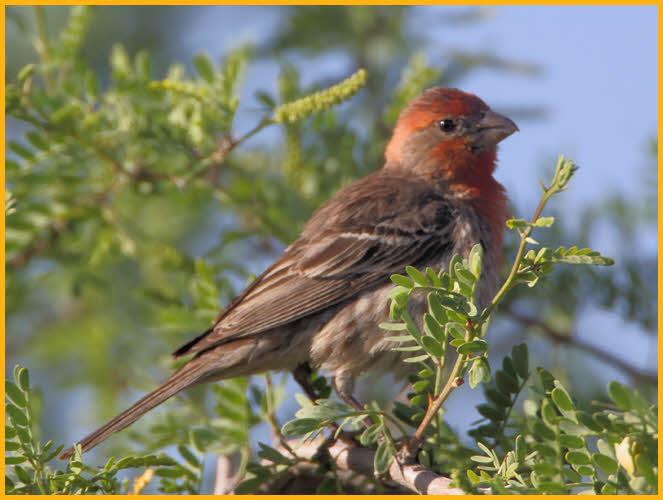 Orange finch birds - photo#22