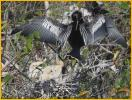 Anhinga and Chicks