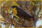 First Winter <BR>Yellow-headed Blackbird