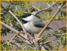 Eastern<BR>Black-capped Chickadee