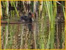 American Coot Chick