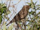Female Interior West<BR>Brown-headed Cowbird