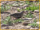 Female Western <BR>Common Ground-Dove