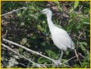 Cattle Egret<BR>Chick