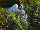 Great Egret<BR>Feeding Chick