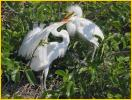 Great Egret<BR>Chicks