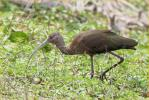First Winter<BR>White-faced Ibis
