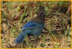 Pacific <BR>Steller's Jay