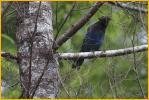 Queen Charlottes Island<BR>Steller's Jay