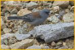 Gray-headed <BR>Dark-eyed Junco