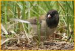 Female Oregon <BR>Dark-eyed Junco