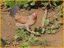 Female Red Junglefowl