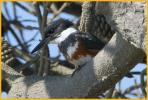 Female <BR>Belted Kingfisher