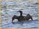 Juvenile <BR>Common Loon