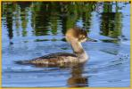 First Spring<BR>Hooded Merganser