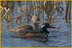 Male and Female<BR>Hooded Mergansers
