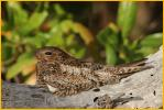 Female<BR>Antillean Nighthawk