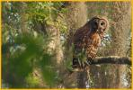 Dark Barred Owl