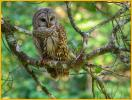 Light<BR>Barred Owl