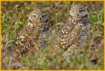 Male and Female Florida <BR>Burrowing Owls