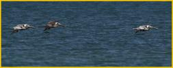 Atlantic<BR>Brown Pelicans