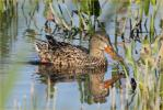 Female<BR>Northern Shoveler