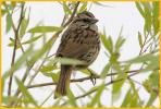 California Coast <BR>Song Sparrow