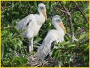 Woodstork Chicks