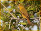 Female Eastern<BR>Summer Tanager