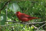 Eastern<BR>Summer Tanager
