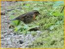 Female <BR>Varied Thrush