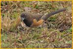 Female Florida <BR>Eastern Towhee