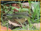 Female<BR>Black-throated Blue Warbler