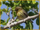 First Summer<BR>Cape May Warbler