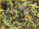 Female <BR>Mourning Warbler