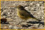 Yellow <BR>Palm Warbler