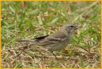 First Winter Female <BR>Pine Warbler