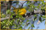 Female Pacific<BR>Wilson's Warbler