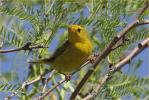 Female Taiga<BR>Wilson's Warbler