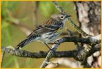 Female Myrtle<BR>Yellow-rumped Warbler