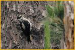 Juvenile <BR>Hairy Woodpecker